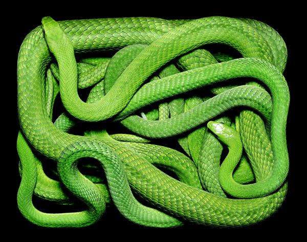 guido-mocafico_snake-photography_serpens-collection_6