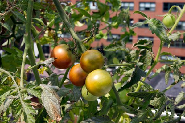 Rooftop Hydroponic Garden 3
