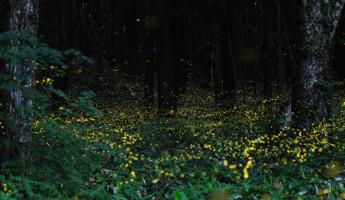 Slow Shutter Fireflies by Tsuneaki Hiramatsu