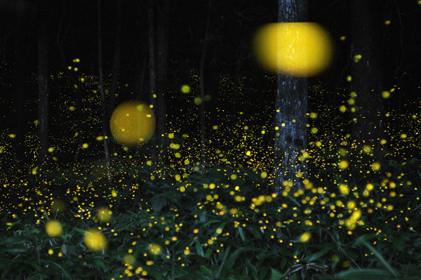 Slow Shutter Fireflies 2 Slow Shutter Fireflies by Tsuneaki Hiramatsu