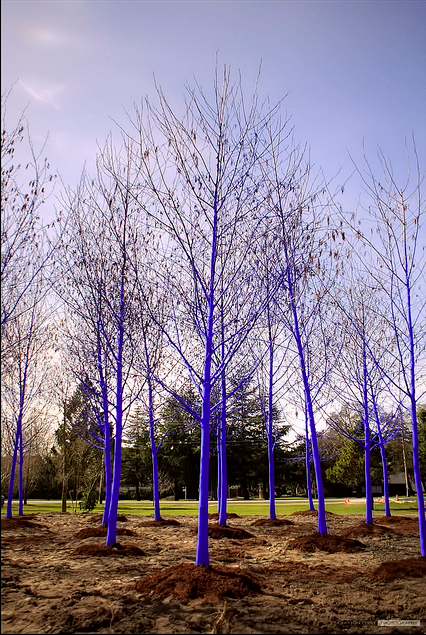 blue trees 7
