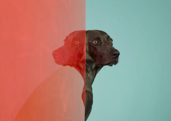 william wegman dog portraits 1 Dog Portraits by William Wegman