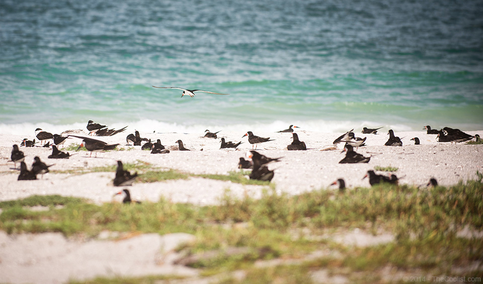 Abandoned Beach Forts of Florida - black skimmers