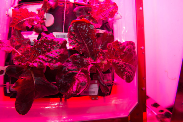 Vegetables Grown in Space Mars Mission Food Research 2 600x399 For the First Time in Human History, Astronauts Dine on Space Grown Produce