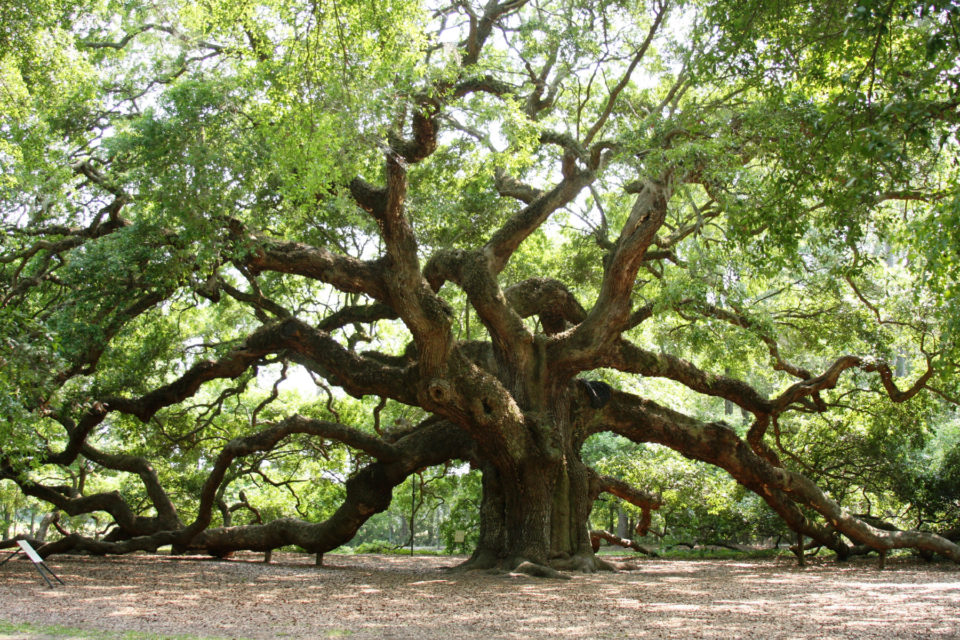 Angel Oak of South Carolina