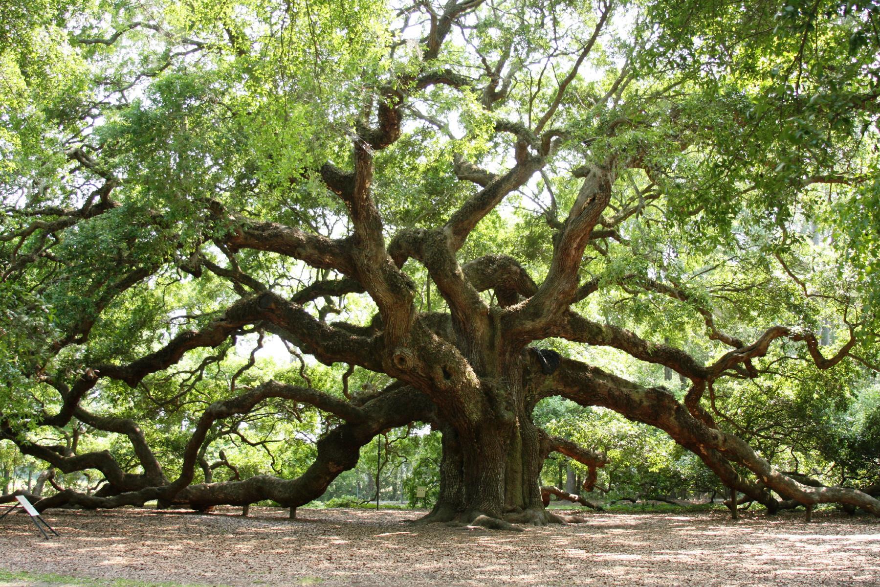 Angel Oak – beautiful tree