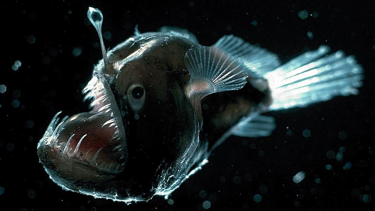 Anglerfish – undersea animal