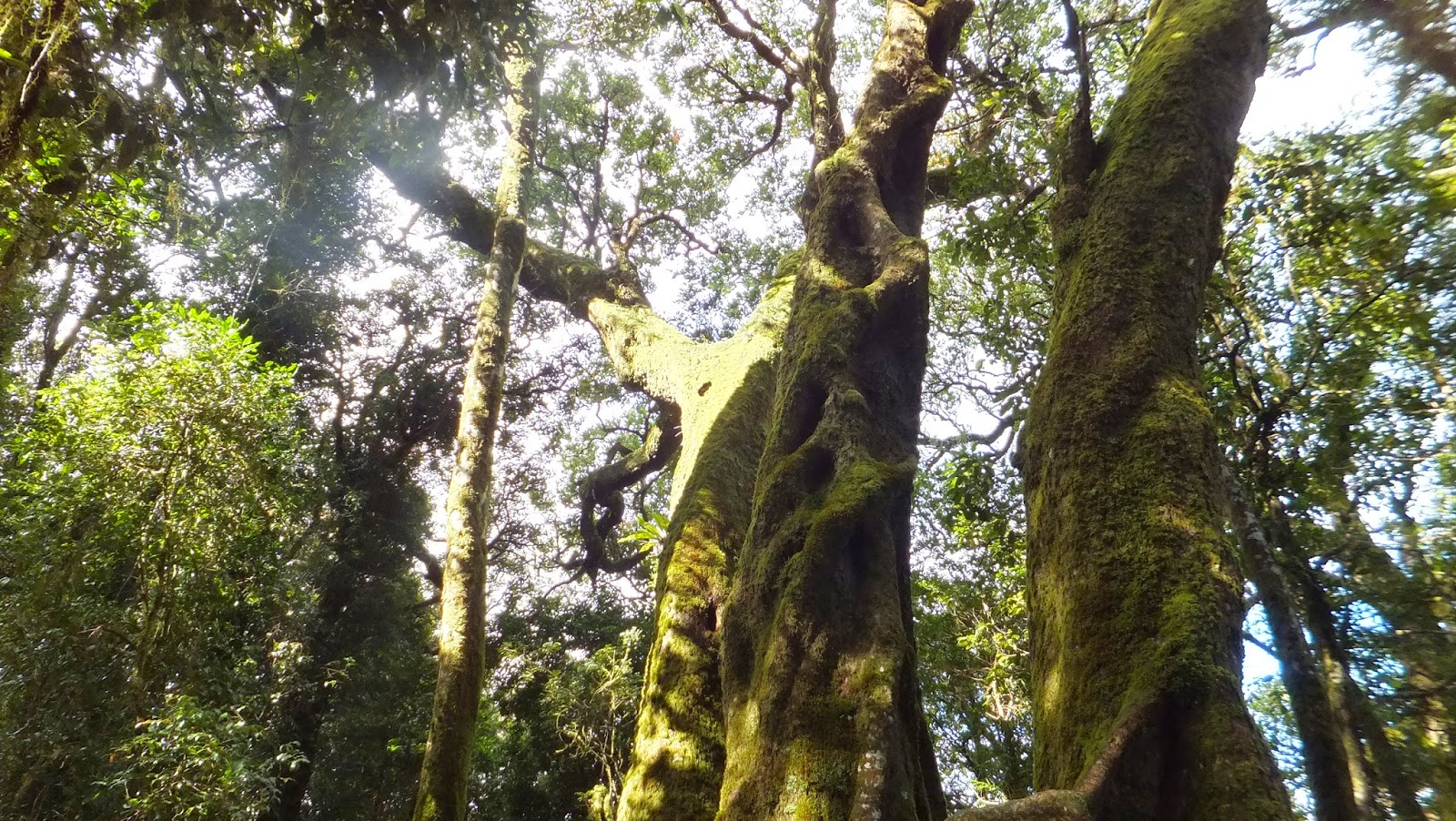 Antarctic Beech – beautiful tree