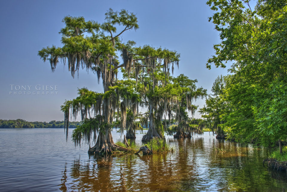 The bald cypress tree