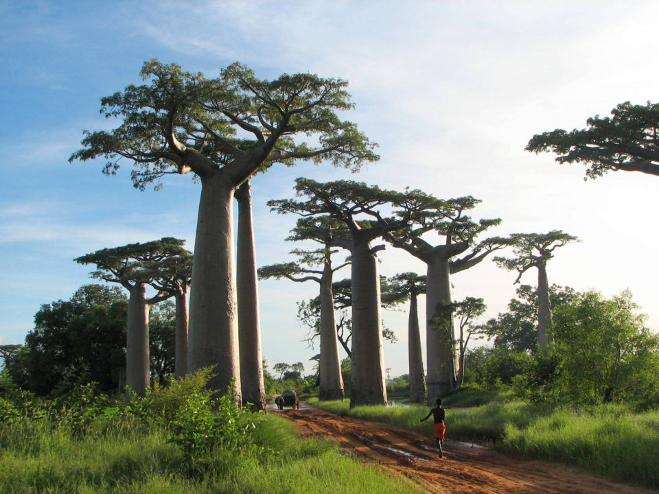 Adansonia grandidieri - Avenue of the Baobabs, Madagascar