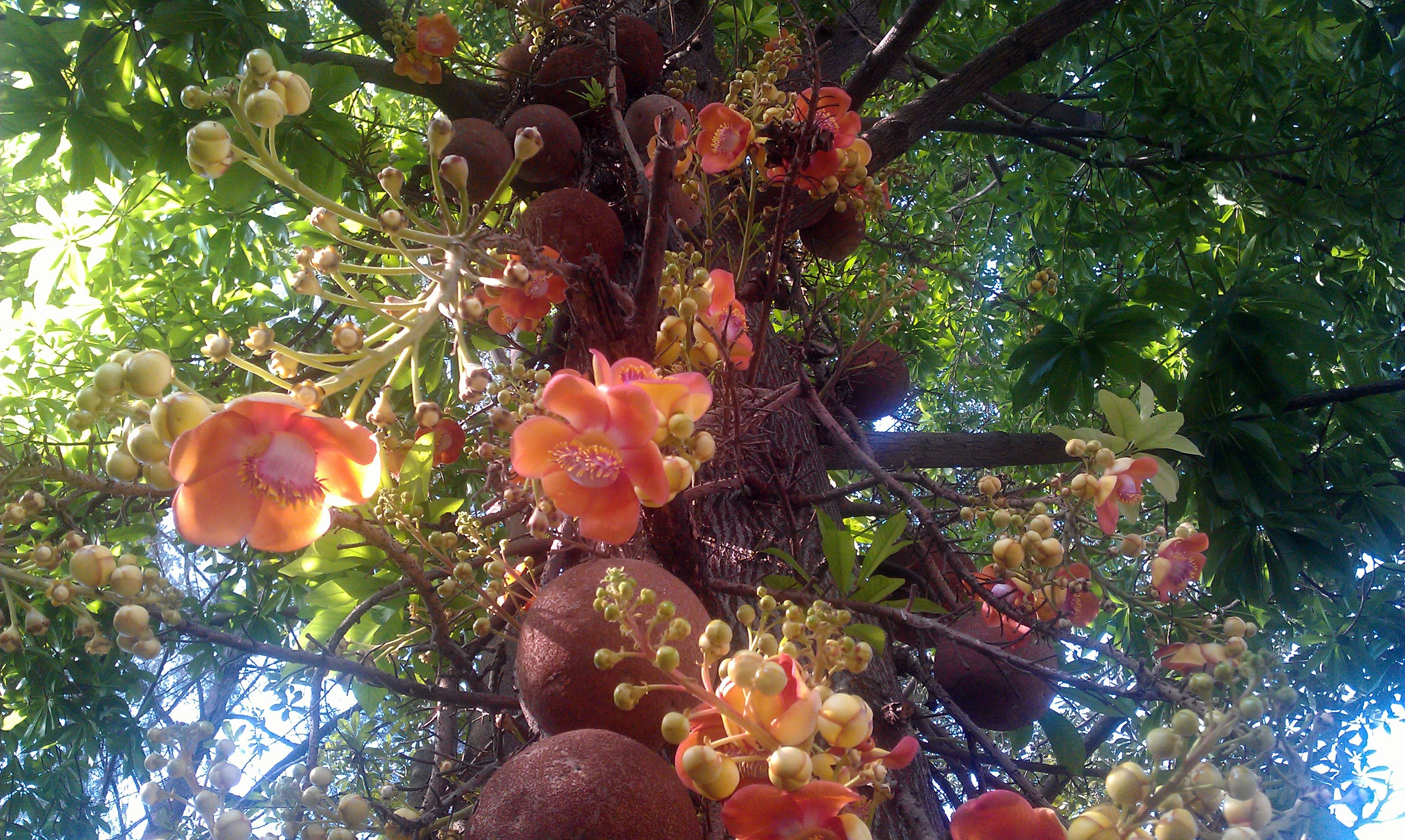Beautiful Cannonball Tree