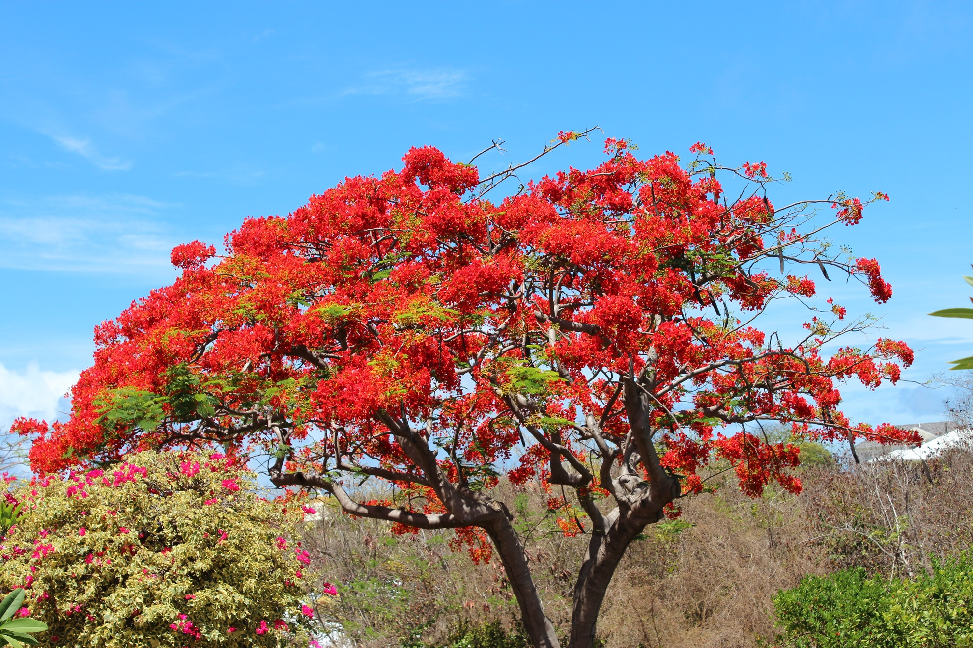 Beautiful Flamboyant Tree