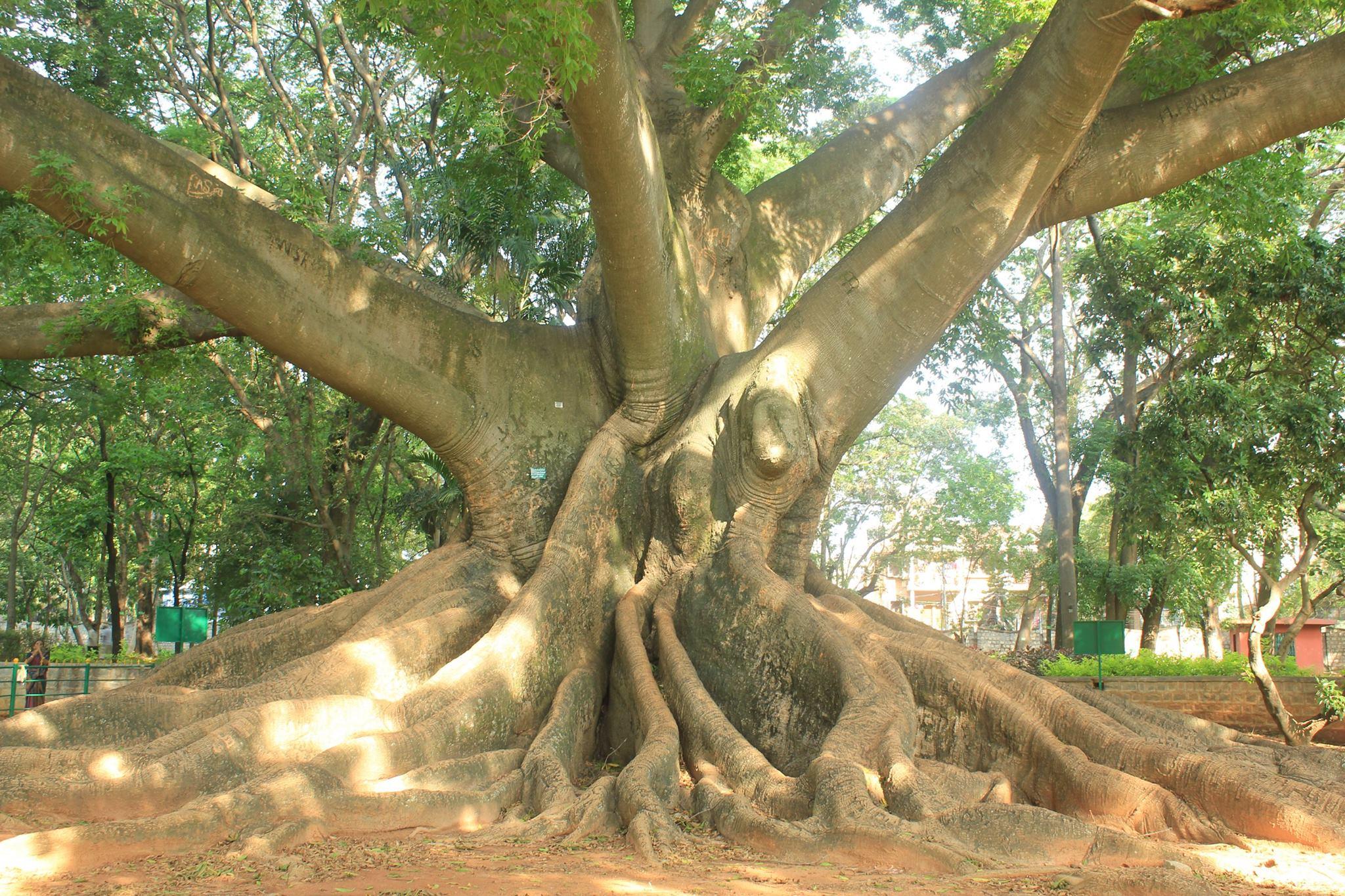 Beautiful Silk Cotton Trees