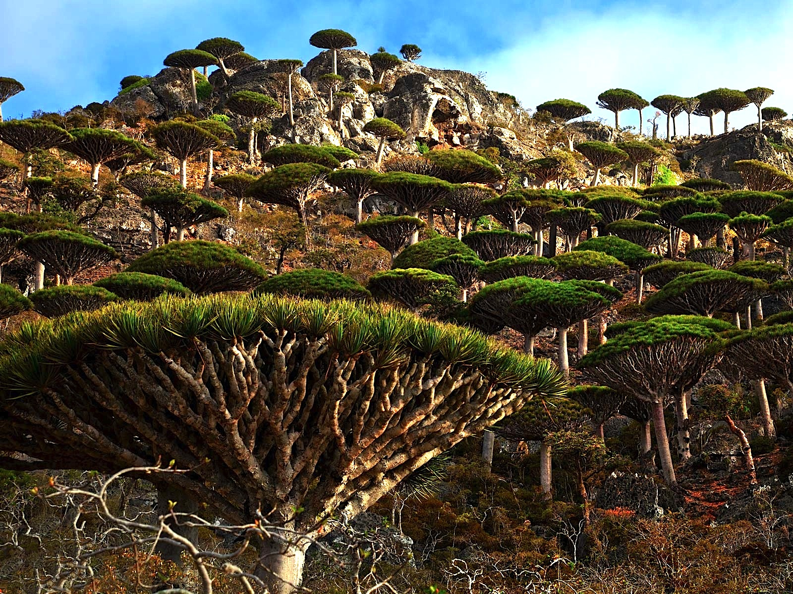 Beautiful Socotra Dragon Tree