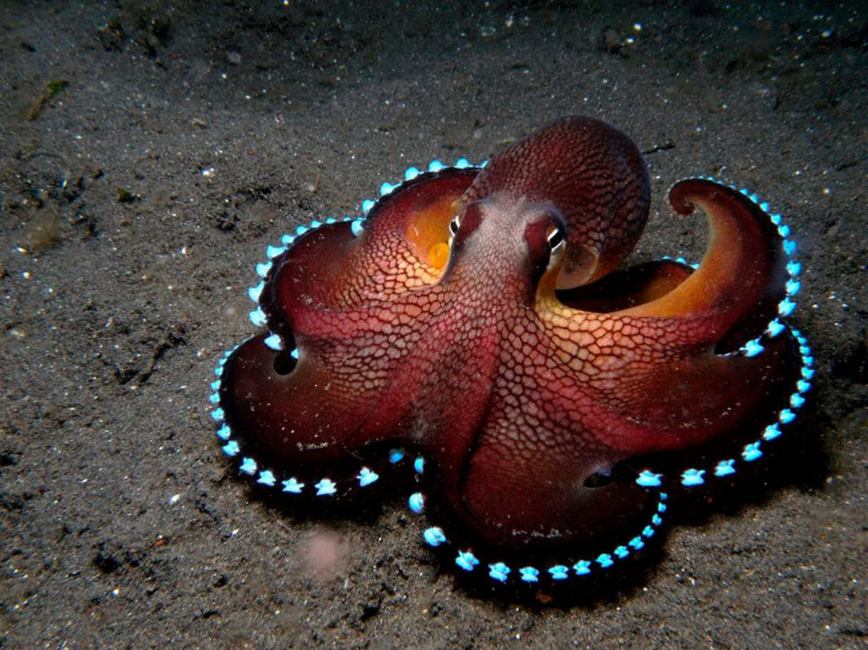 Bioluminescent Octopus undersea animals 960x719 What Lies Beneath: 17 Awesome Undersea Animals