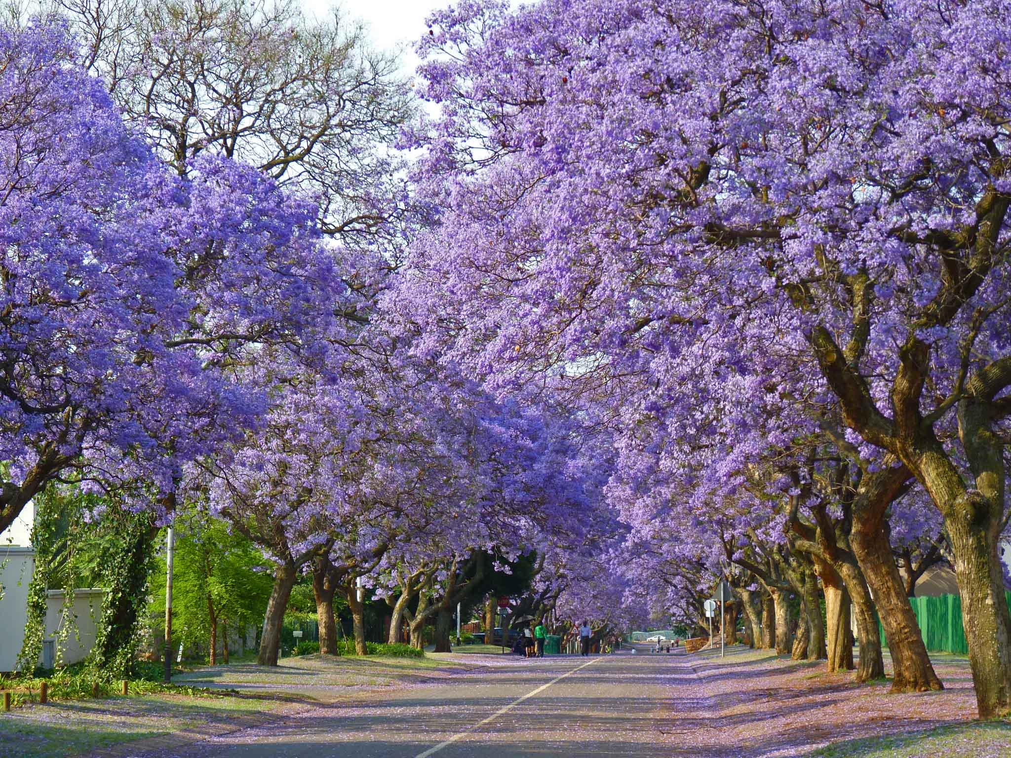 Blue Jacaranda – beautiful tree