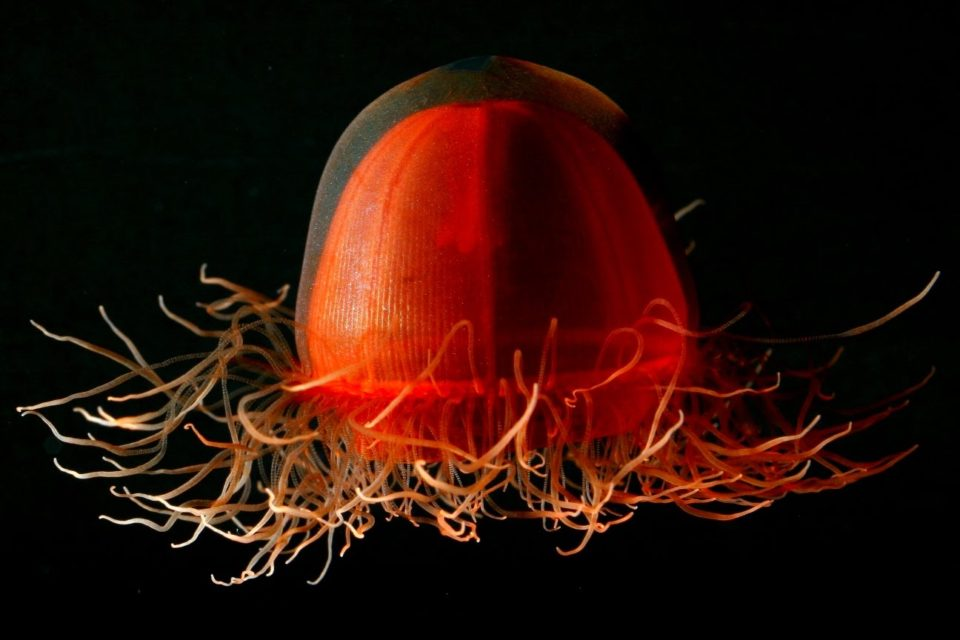 Crossota Norvegica Jellyfish undersea animal 960x640 What Lies Beneath: 17 Awesome Undersea Animals