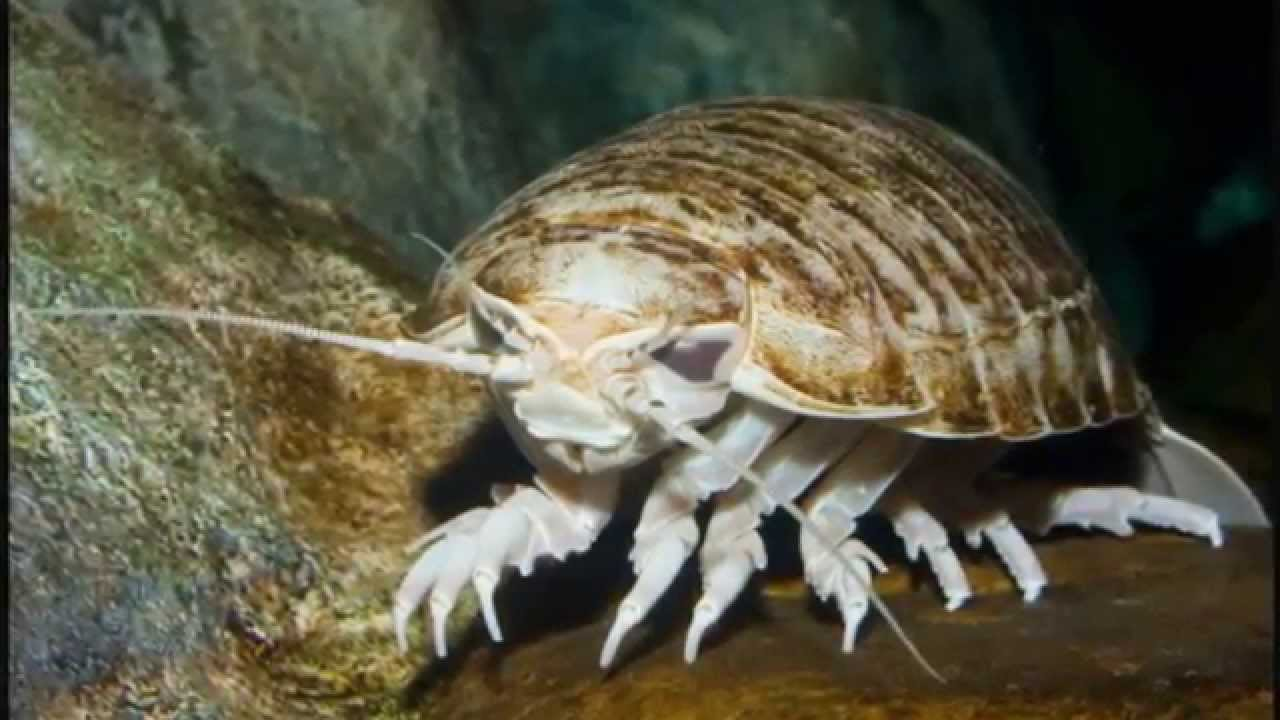 Giant Isopod – undersea animal
