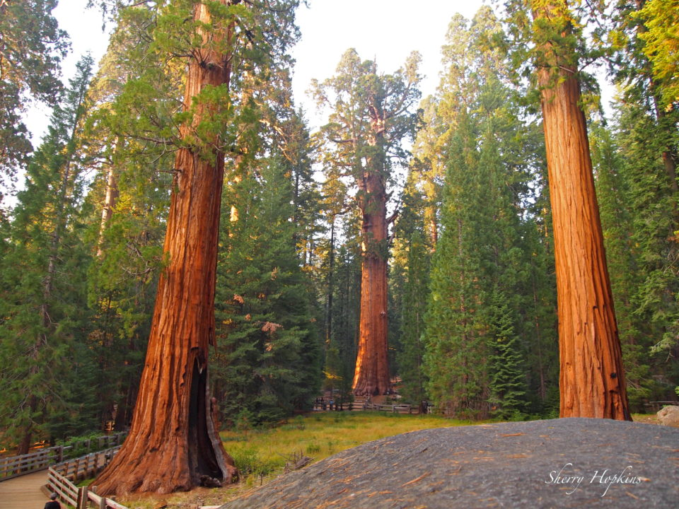 Giant Sequoia - Sequoia National Park, California