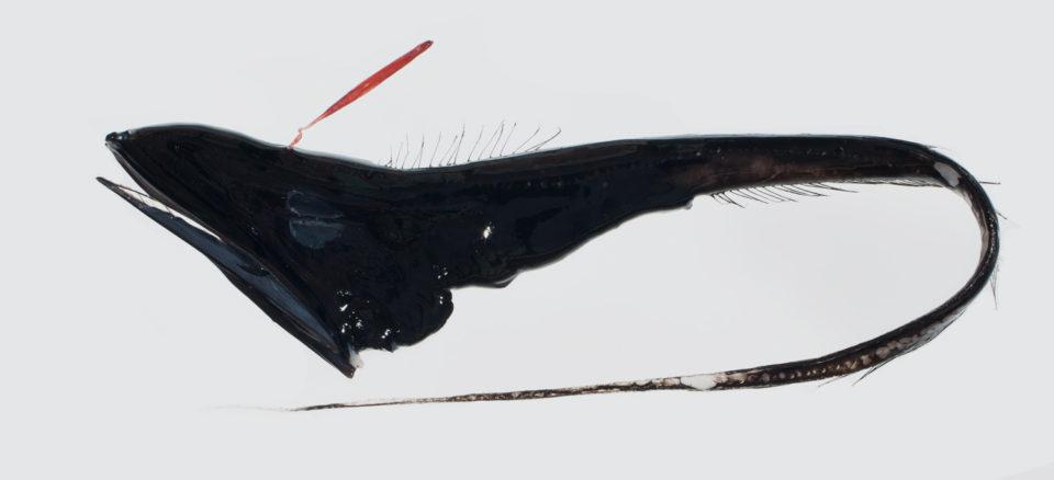 via fishesofaustralia.net.au