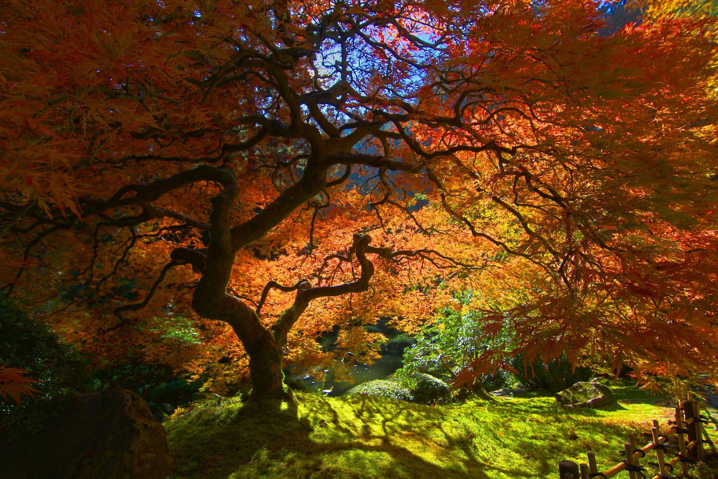 Japanese Maple – beautiful tree