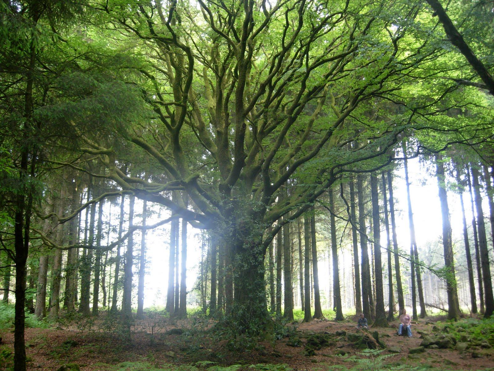 Ponthus Beech – beautiful tree