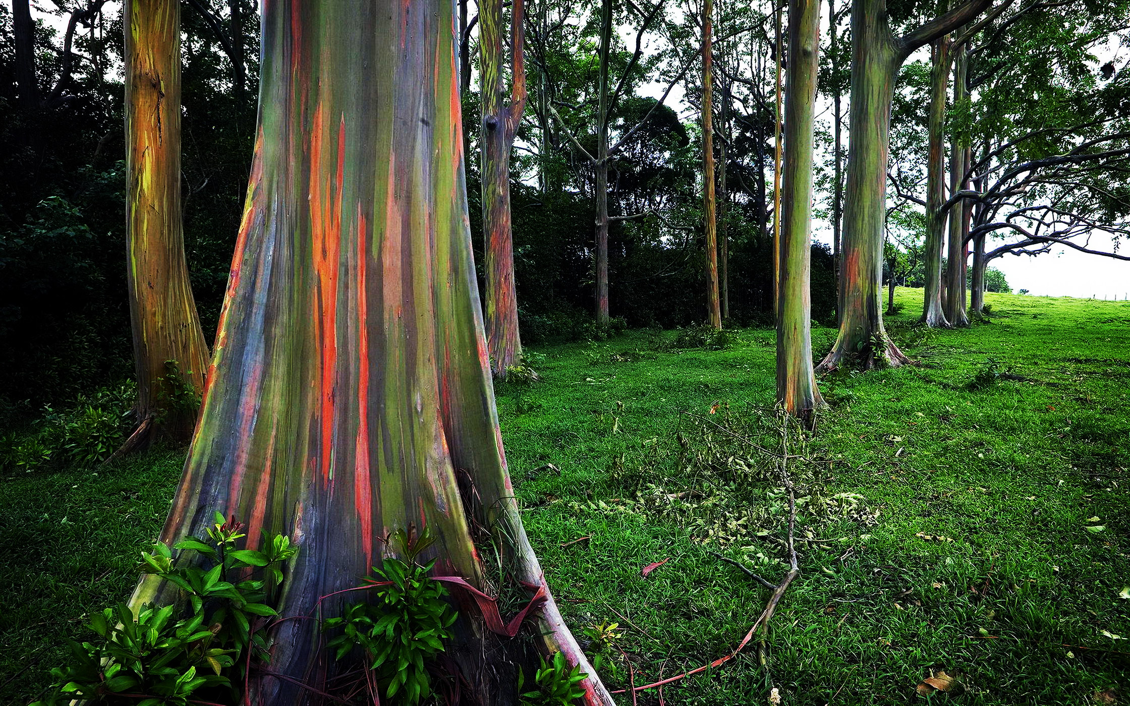 Rainbow Eucalyptus – beautiful tree