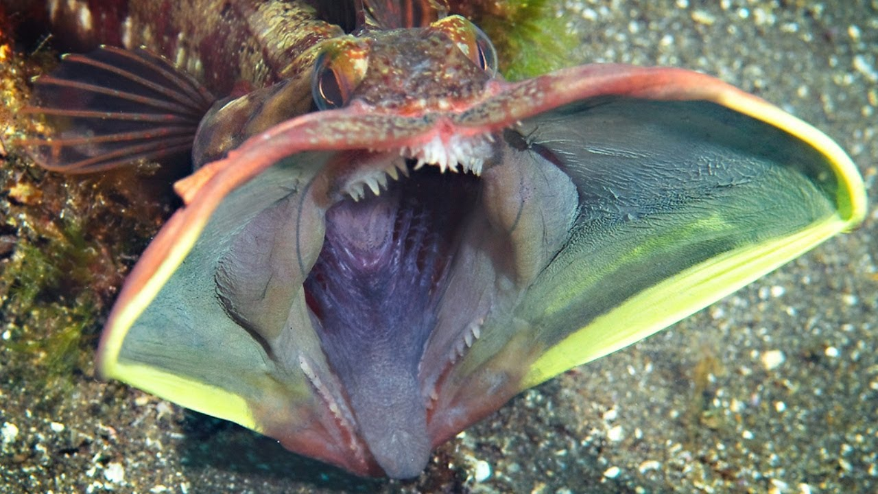 Sarcastic Fringehead – undersea animal