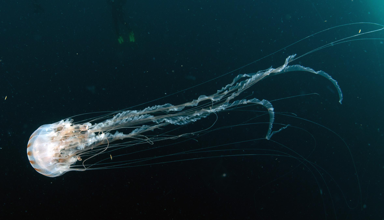Sea Wasp – undersea animal