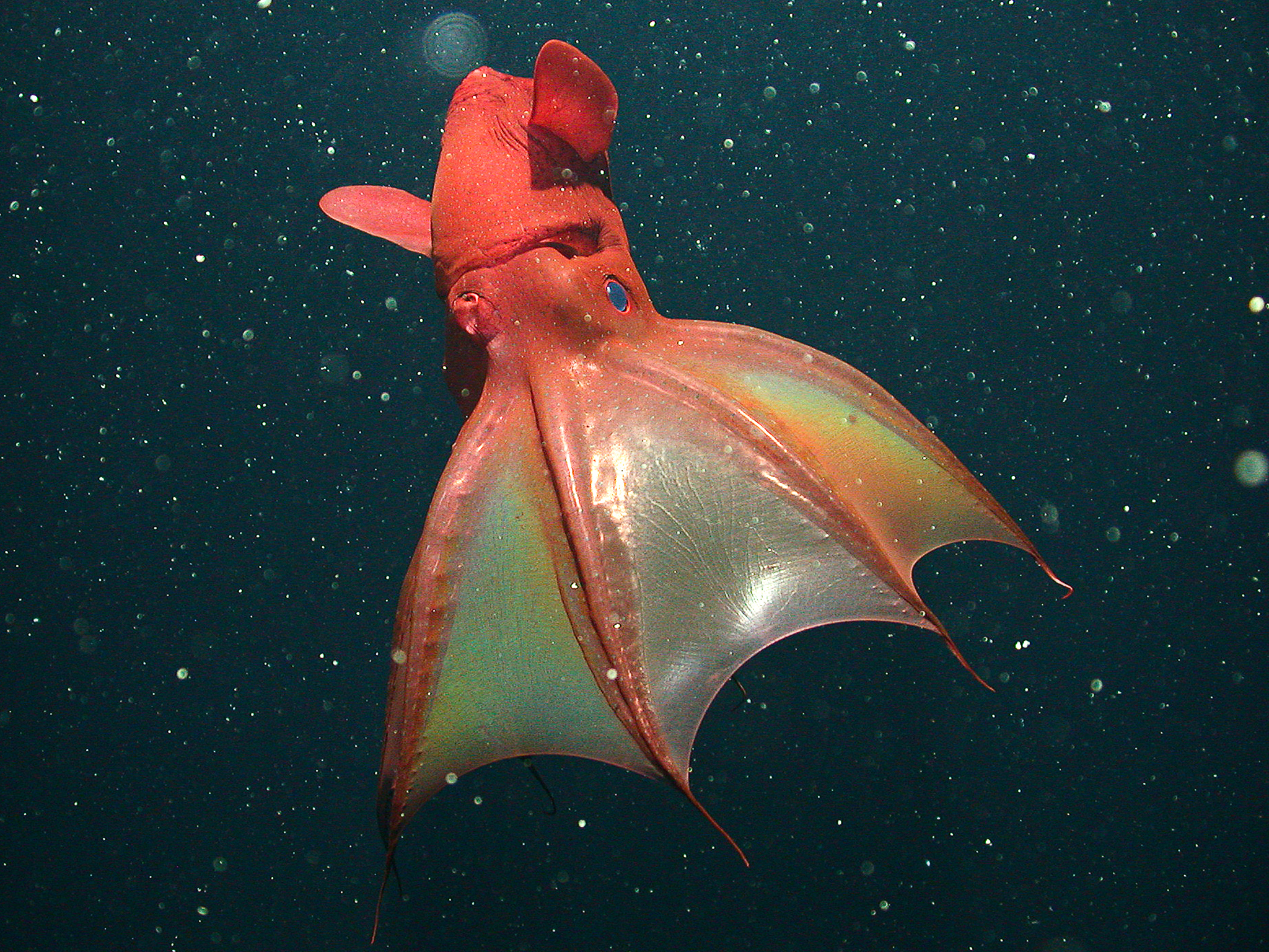 http://www.mbari.org/news/news_releases/2012/vampfood/hires/vampfood-hrimages.html