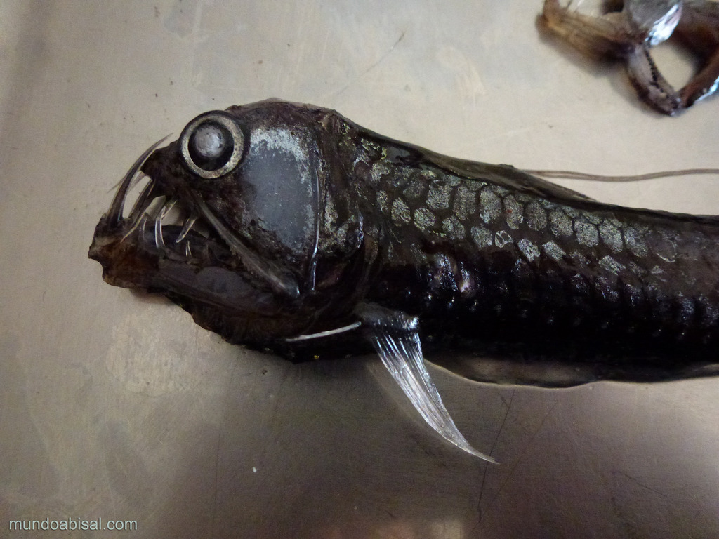 Viperfish – undersea animal