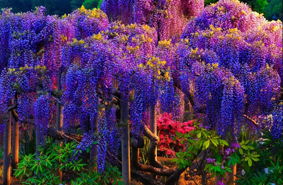 The colorful Wisteria tree