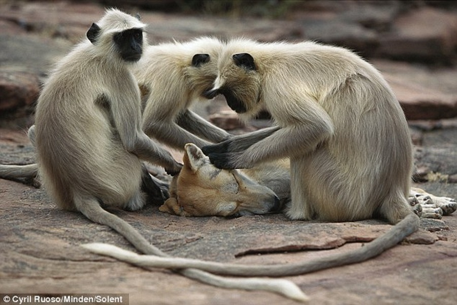 The monkeys eat the lice or ticks they pick up