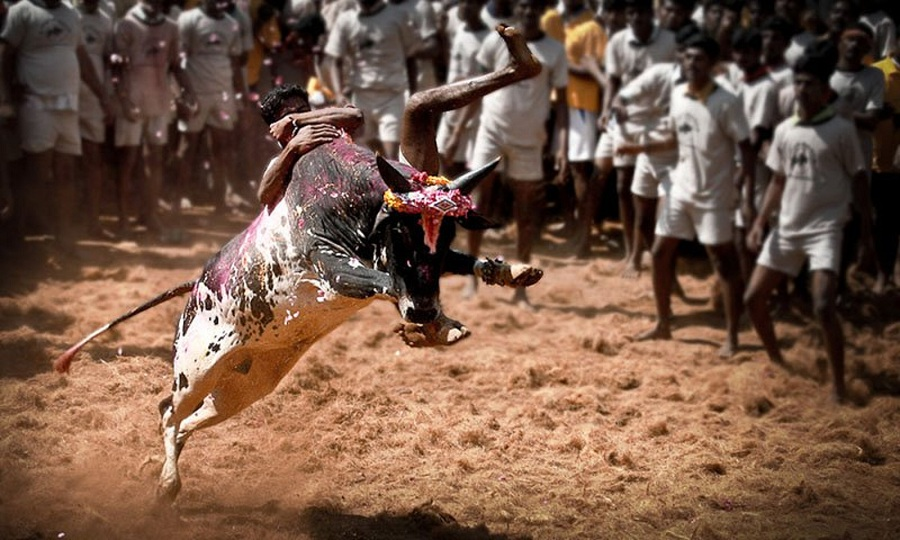 Young boy trying to control a bull in Jallikattu at Alanganallur