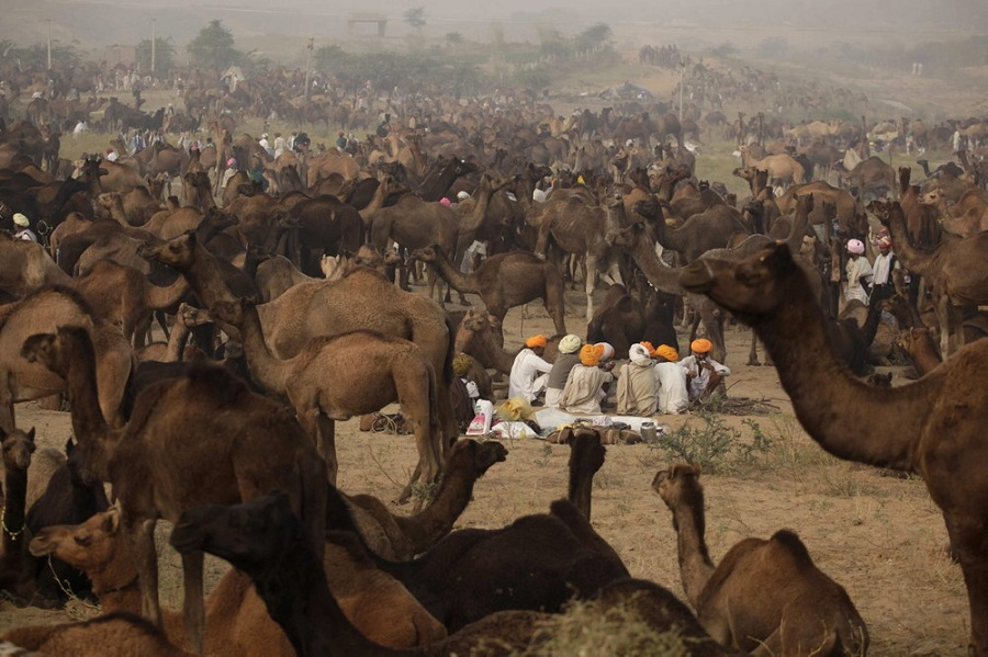 Annual Pushkar camel fair conducted in Rajasthan