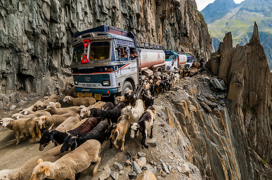 Sheep and goats in Kashmir, India