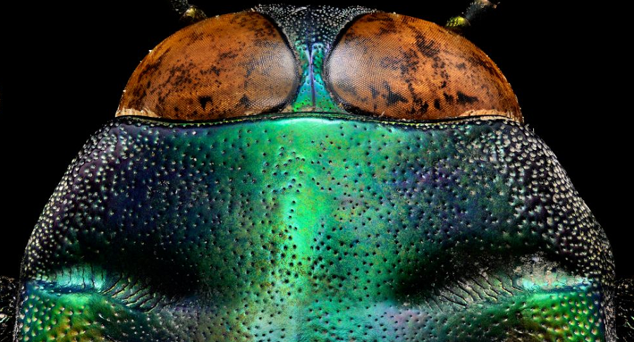 tricolored-jewel-beetle-the-coolist-macro-photography
