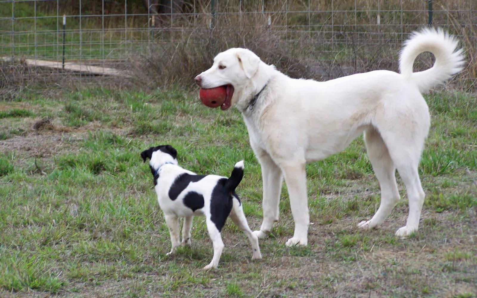 Akbash – largest dogs