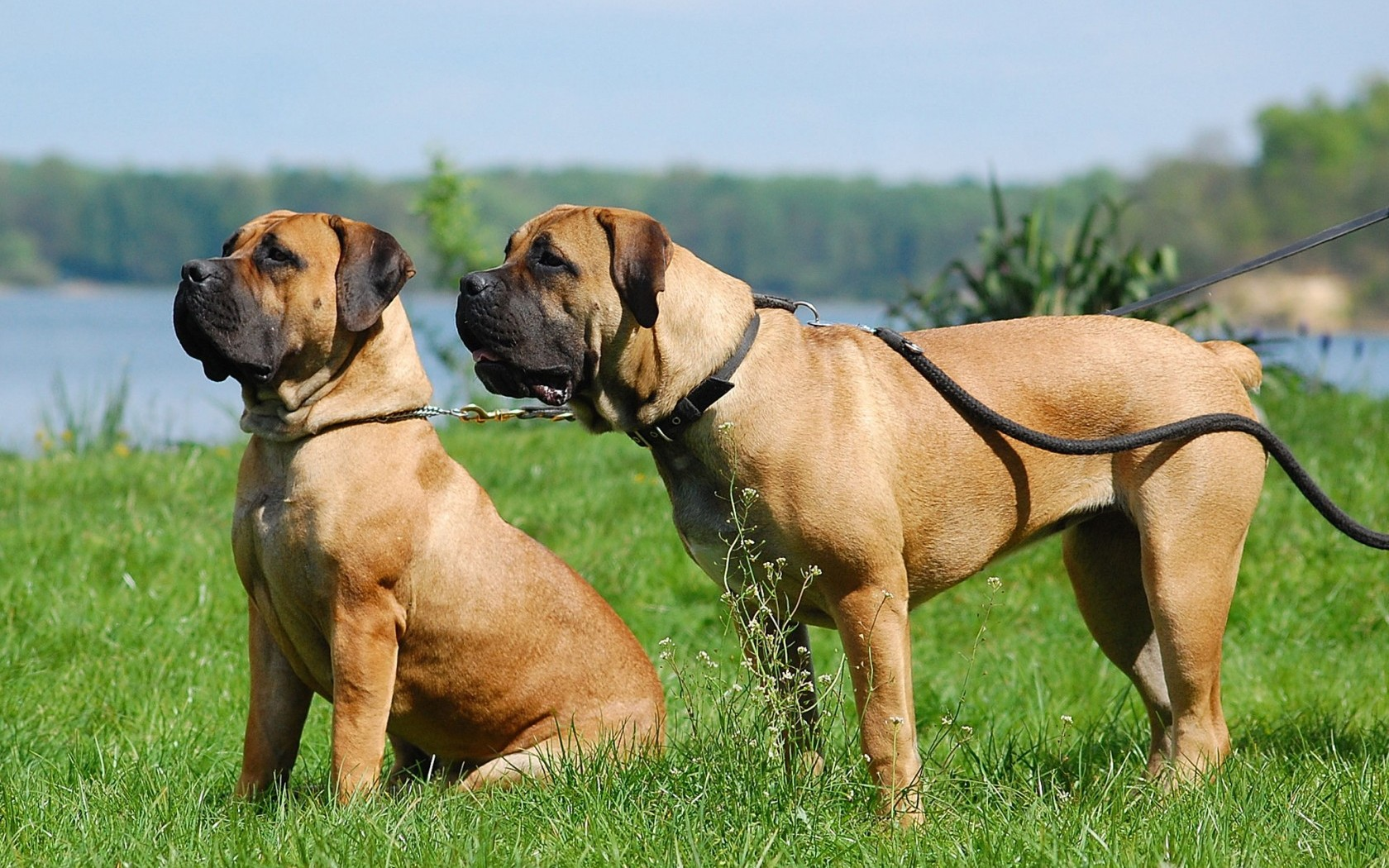 Boerboel – largest dogs