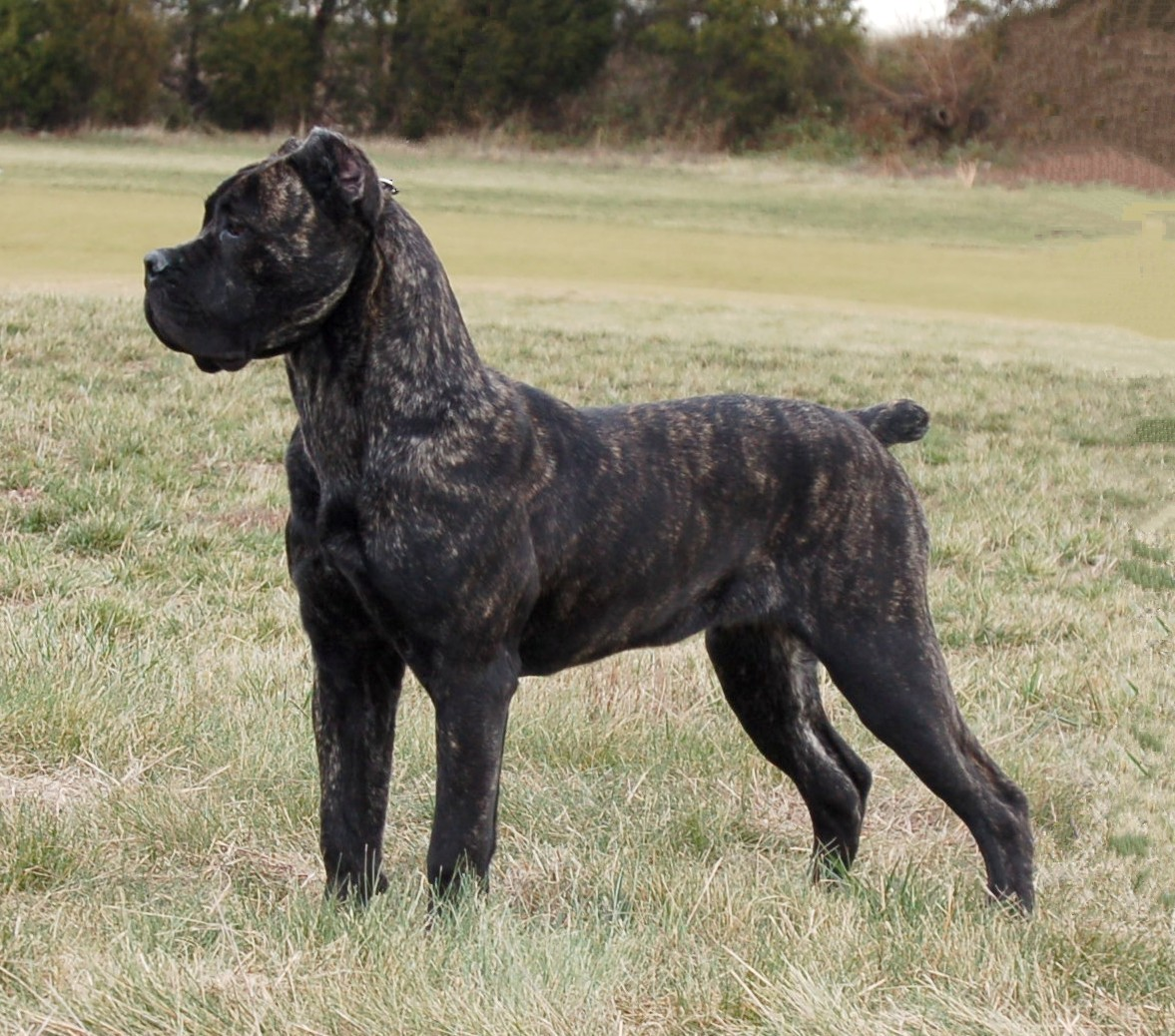 Cane Corso – largest dogs