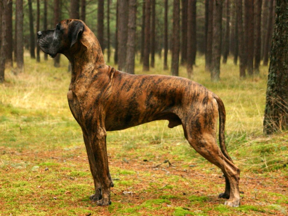 Great Dane largest dogs 960x720 The Largest Dogs In The World with More Bite Than Bark