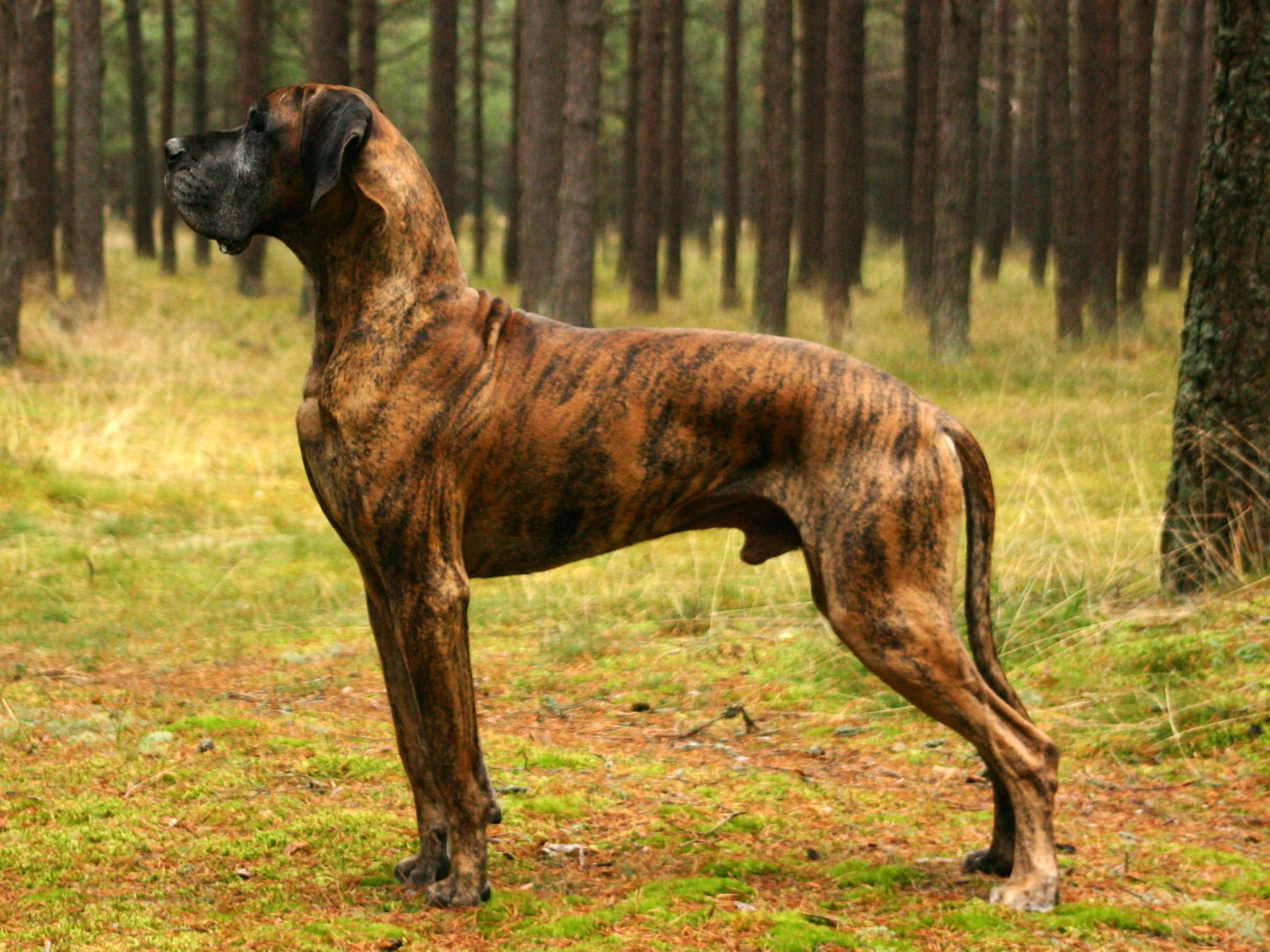 Great Dane – largest dogs