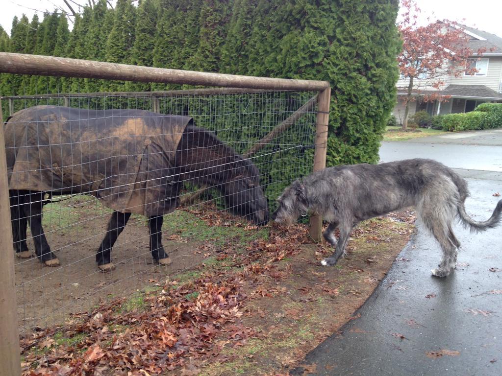 Irish Wolfhound – largest dogs