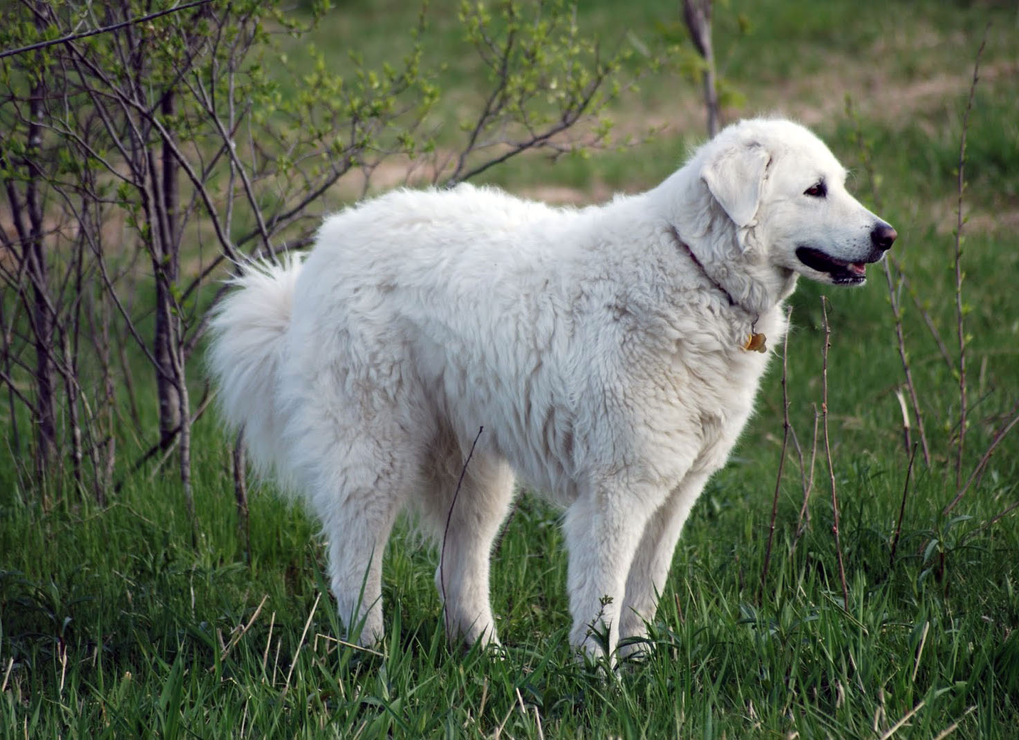 Kuvasz – largest dogs
