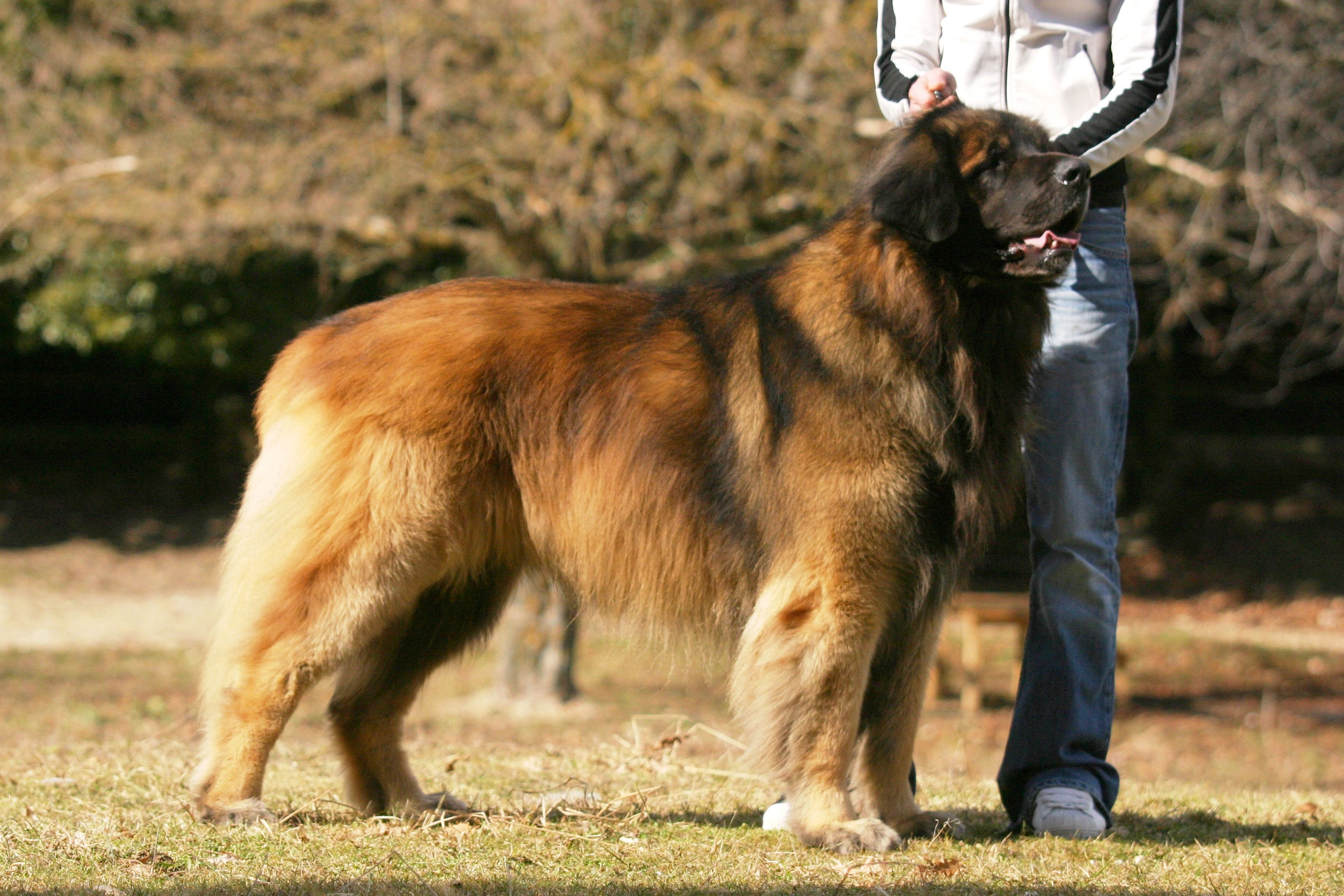 Leonberger – largest dogs