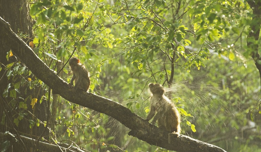 Macaques In The Rain At Corbett Tiger Reserve In India