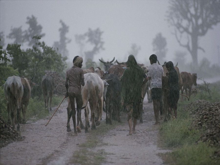 Bhil farmers herd cattle during a summer monsoon near the village of Walpur, India. National Geographic/James P. Blair