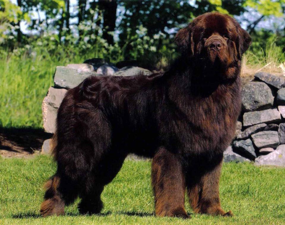 Pictures Of Black Newfoundland Dog