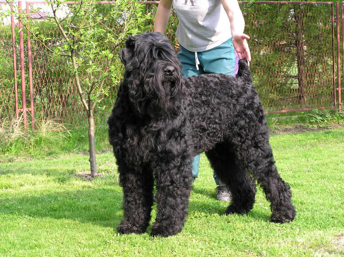 Russian Black Terrier – largest dogs