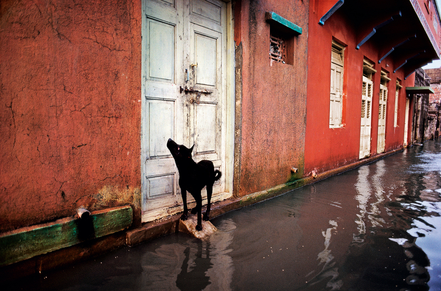 Street Dog During A Monsoon Flood In India